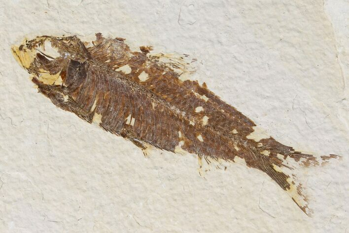 "3.3"" Detailed Fossil Fish (Knightia) - Wyoming"