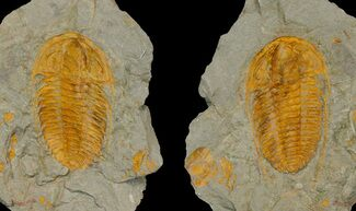 "3.1"" Hamatolenus Trilobite - Perfect Pos/Neg Split! For Sale, #175022"