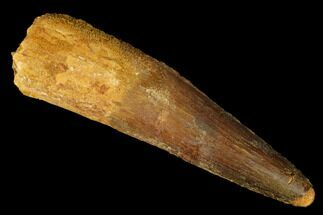"3.55"" Spinosaurus Tooth - Real Dinosaur Tooth For Sale, #175304"