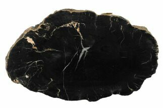 "5.3"" Black, Polished Petrified Wood (Araucaria) Round - Arizona For Sale, #175274"