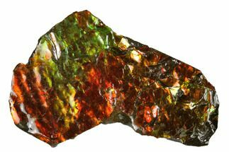 "3"" Iridescent Ammolite (Fossil Ammonite Shell) - Alberta, Canada For Sale, #175211"