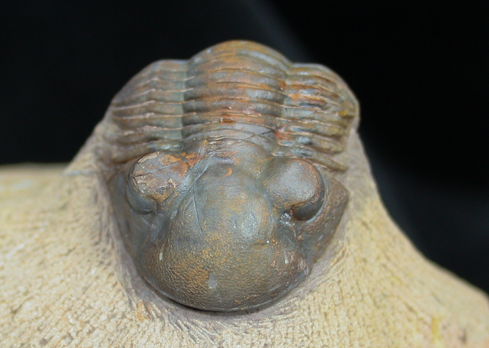 Detailed Moroccan Trilobite Paralejurus