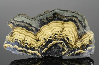 "5.5"" Polished Schalenblende Slice - Poland For Sale, #175427"