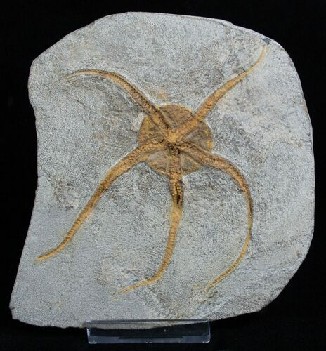 Large Starfish/Brittle Star Fossil From Morocco