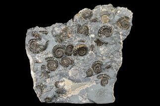 Promicroceras marstonense - Fossils For Sale - #176367