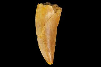 "Serrated, .88"" Raptor Tooth - Real Dinosaur Tooth For Sale, #176225"