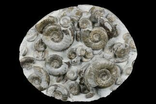 "5.8"" Fossil Ammonite (Psiloceras) Cluster - Holderness Coast, England For Sale, #176342"