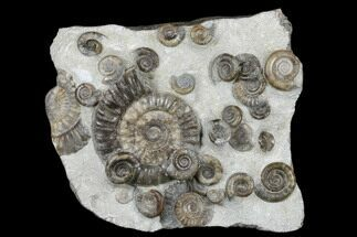 Arnioceras semicostatum - Fossils For Sale - #176343