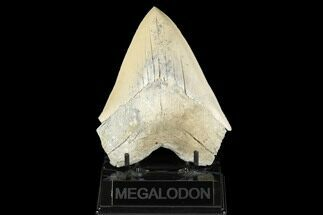 "Buy Serrated, 5.11"" Fossil Megalodon Tooth - Aurora, North Carolina - #176569"