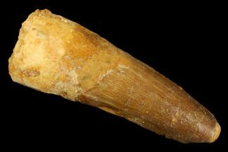 "Buy 1.81"" Spinosaurus Tooth - Real Dinosaur Tooth - #176626"