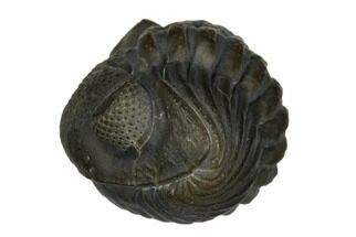 ".95"" Wide, Enrolled Eldredgeops Trilobite - Sylvania, Ohio For Sale, #175640"