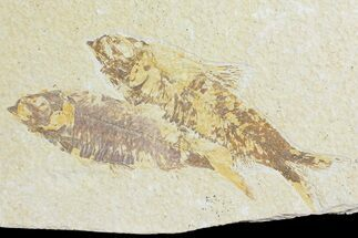 Knightia eocaena - Fossils For Sale - #176427