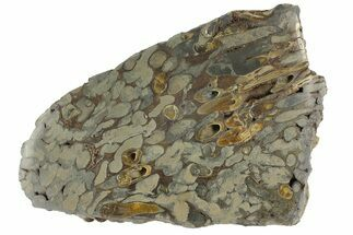 Teredo sp. - Fossils For Sale - #177072