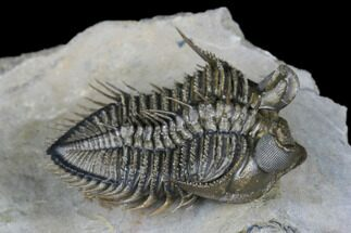 "Buy 1.75"" Tower Eyed Erbenochile Trilobite - Flying Preparation - #177343"