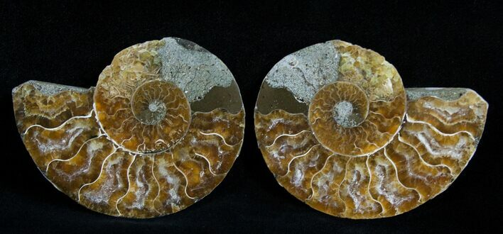 2 3/4 Inch Polished Ammonite (Pair)