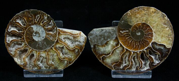 3.2 Inch Polished Ammonite (Pair)