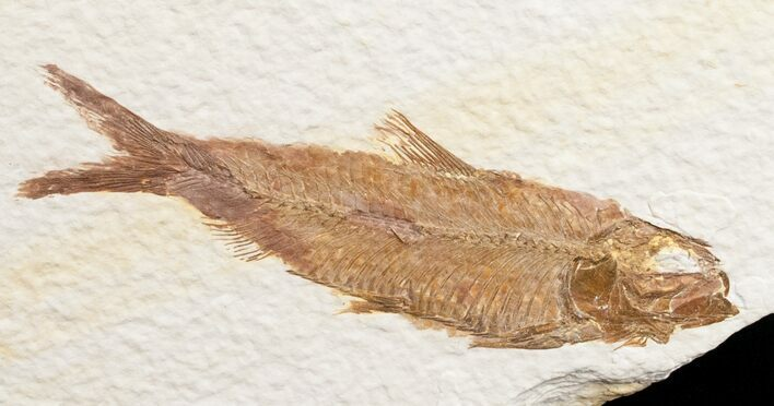 "Bargain 3.2"" Knightia Fossil Fish - Wyoming"