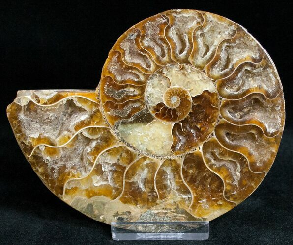 "4.2"" Ammonite Fossil (Half) - 110 Million Years"