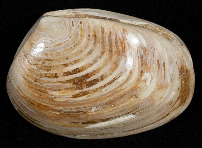 "1.5"" Wide Polished Fossil Clam - Jurassic"