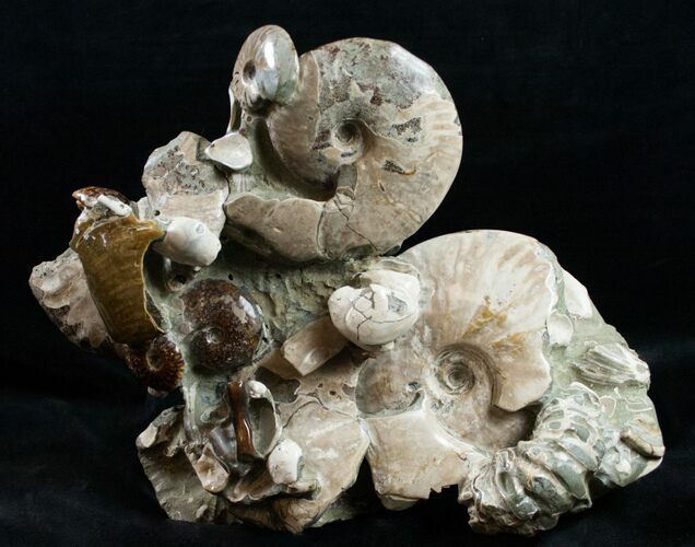 "Beautiful Polished Ammonite Cluster - 11 1/2"" Wide"