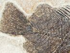 "Detailed 4.35"" Priscacara Fossil Fish - 18 Inch Layer - #12139-3"