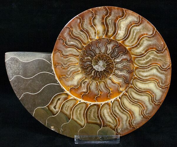"8.1"" Split Ammonite Half - Agatized"