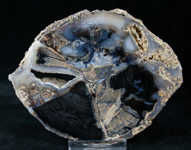 Blue Forest Petrified Wood Slice - 4.6x3.6""