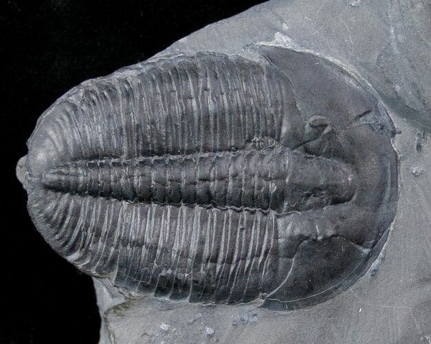 "Whopper 1.61"" Elrathia Trilobite In Matrix - Utah"