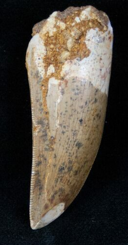 "2.04"" Carcharodontosaurus Tooth - Great Preservation"