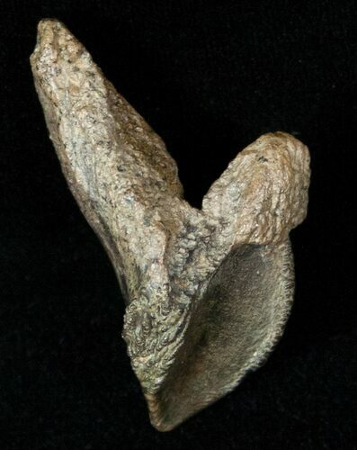 "1.35"" Rooted Triceratops Tooth - Montana"