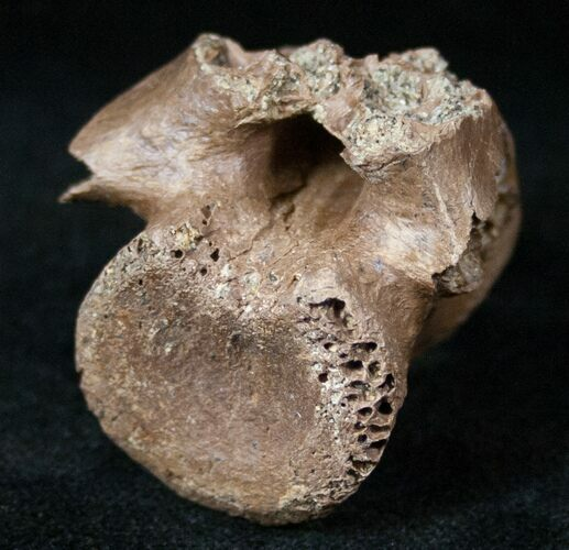 Unidentified Theropod Caudal Vertebrae