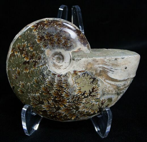 3.1 Inch Polished Ammonite From Madagascar