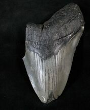 "Bargain 5.43"" Megalodon Tooth - Massive Tooth For Sale, #13910"