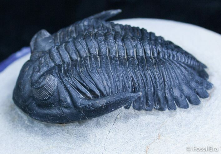 Outstanding Hollardops Trilobite - 2 1/4 Inches