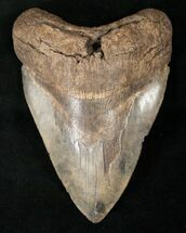 Large 5.38 South Carolina Megalodon Tooth For Sale, #14672