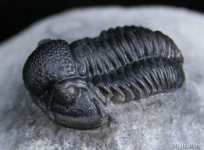 Small Gerastos Trilobite Nice Dark Shell For Sale, #2411