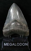 "Good Quality 5.01"" Megalodon Tooth - Serrated For Sale, #14846"