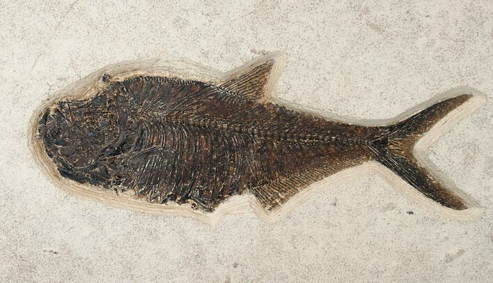"15"" Diplomystus Fish Fossil - Wyoming"