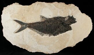 "Bargain 19"" Diplomystus Fish Fossil - Wyoming For Sale, #15125"