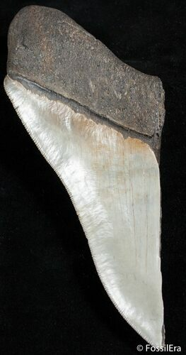 Huge Half Of 6+ Inch Megalodon Tooth
