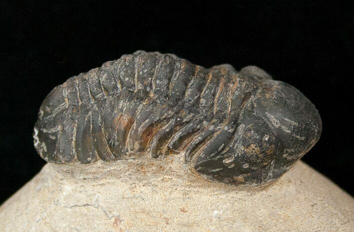 "Bargain Reedops Trilobite Fossil - 1.5"" Long"