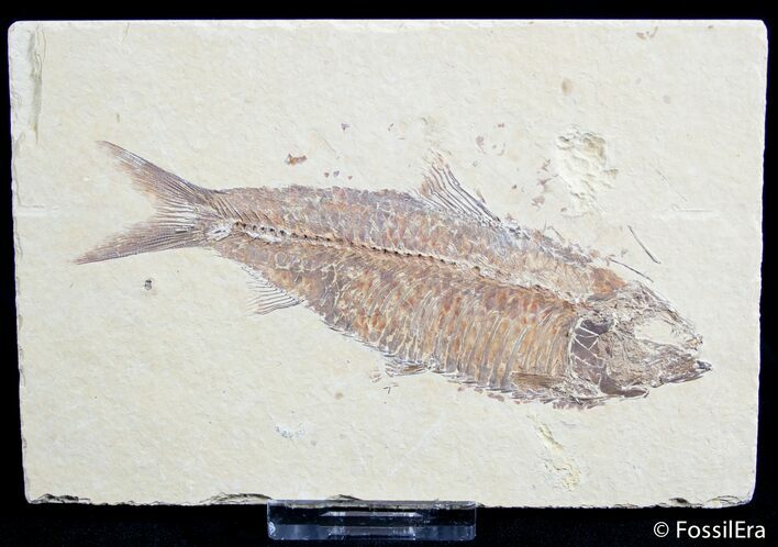 Large 4.7 Inch Knightia Fossil Fish - Great Detail