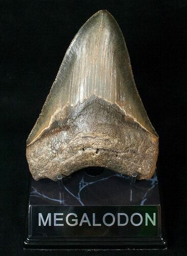 "Serrated 4.95"" Megalodon Tooth - North Carolina"