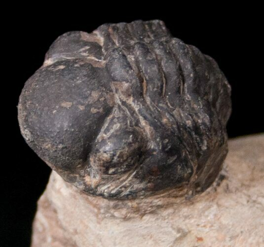 "Bargain Reedops Trilobite Fossil - 1.25"" Long"