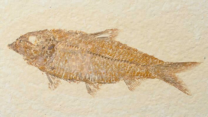 "3.6"" Knightia Fossil Fish - Wyoming"