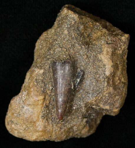Small Leidyosuchus Tooth In Matrix - Montana