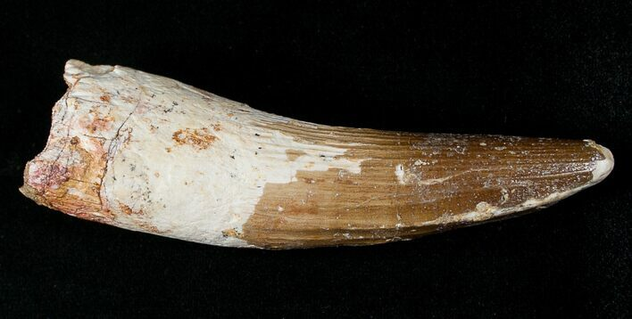 "3.48"" Spinosaurus Tooth - Partial Root"