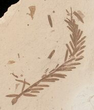 Metasequoia (Dawn Redwood) - Fossils For Sale - #16260
