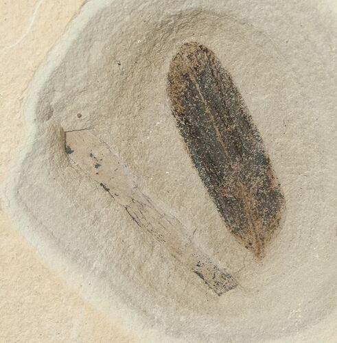 Fossil Caesalpinia Leaf & Unidentified Plant - Green River Formation