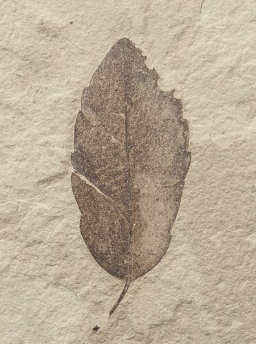 Fossil Quercus (Oak) Leaf - Green River Formation